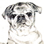 Pencil drawing of a pug dog